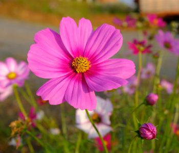 When the Cosmos starts blooming, it's sending runners a message.